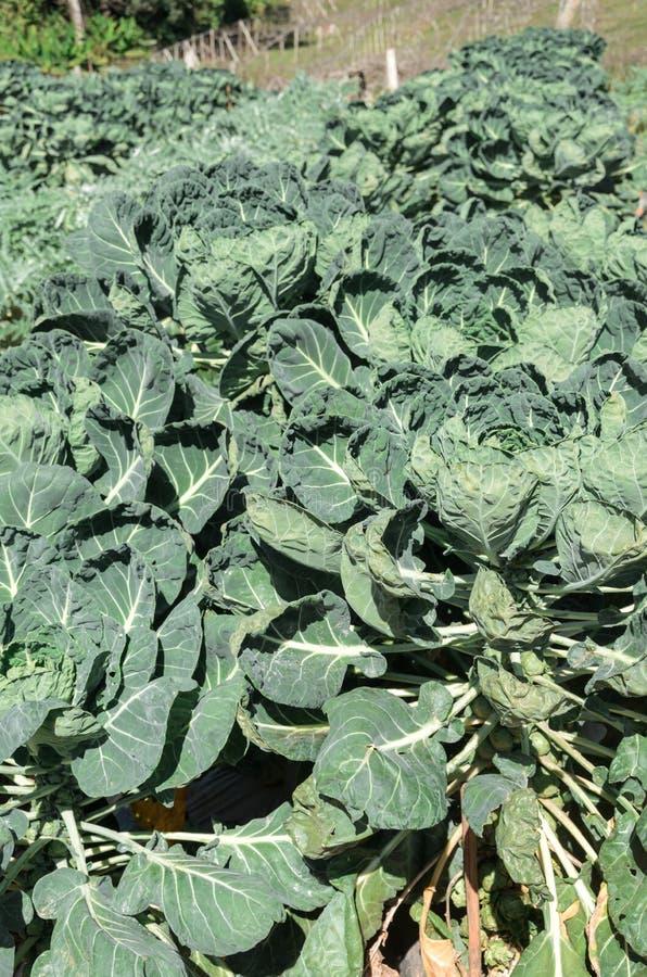 Zieleń organicznie warzywa obraz stock