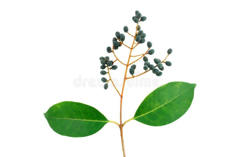 zieleń owocowi liść zdjęcia stock