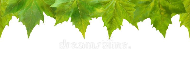 zieleń piękni liść zdjęcie royalty free
