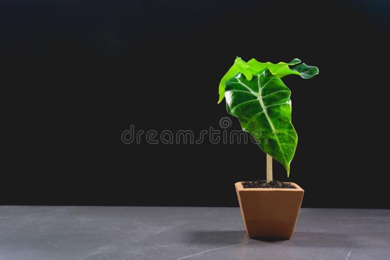 Zieleń puszkował rośliny, drzewa w garnku na stole obraz stock