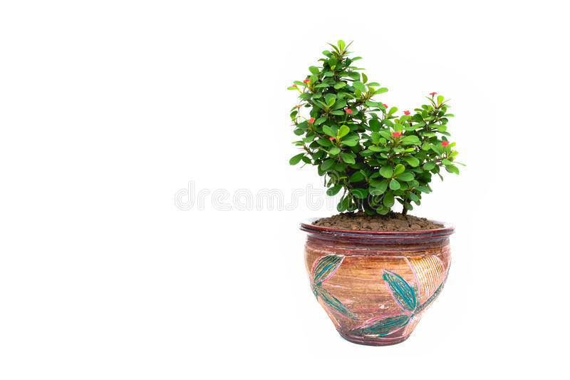 Zieleń puszkował rośliny, drzewa w garnku odizolowywającym na bielu zdjęcia stock