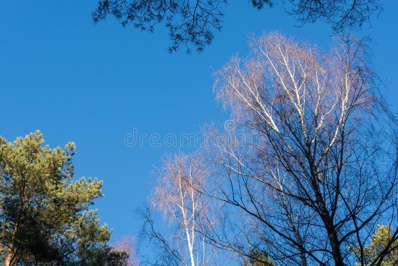 Zieleń szczyty sosny i brzozy bez liści przeciw niebieskiemu niebu zdjęcie royalty free