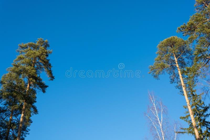 Zieleń szczyty sosny i brzozy bez liści przeciw niebieskiemu niebu obrazy stock