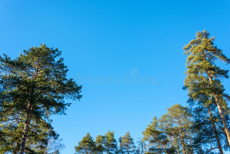 Zieleń szczyty sosny i brzozy bez liści przeciw niebieskiemu niebu obraz stock