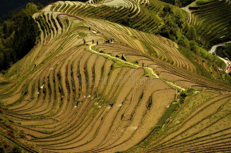 Zieleń zalewający tarasowi ryżowi irlandczycy w Chiny obraz royalty free