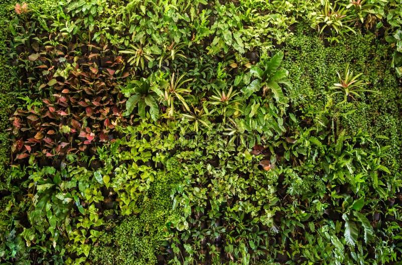 ziele ściana, rośliny ściana, naturalna zielona tapeta i tło, zdjęcia royalty free