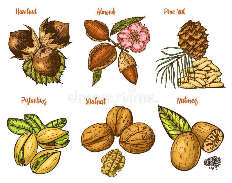 Ziele, condiments i pikantność, migdał, orzech włoski, sosnowa dokrętka i hazelnut, ziarna dla menu Organicznie jarosz lub roślin ilustracji