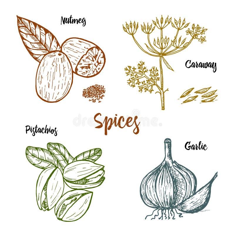 Ziele, condiments i pikantność, nutmeg i pistacje ilustracja wektor