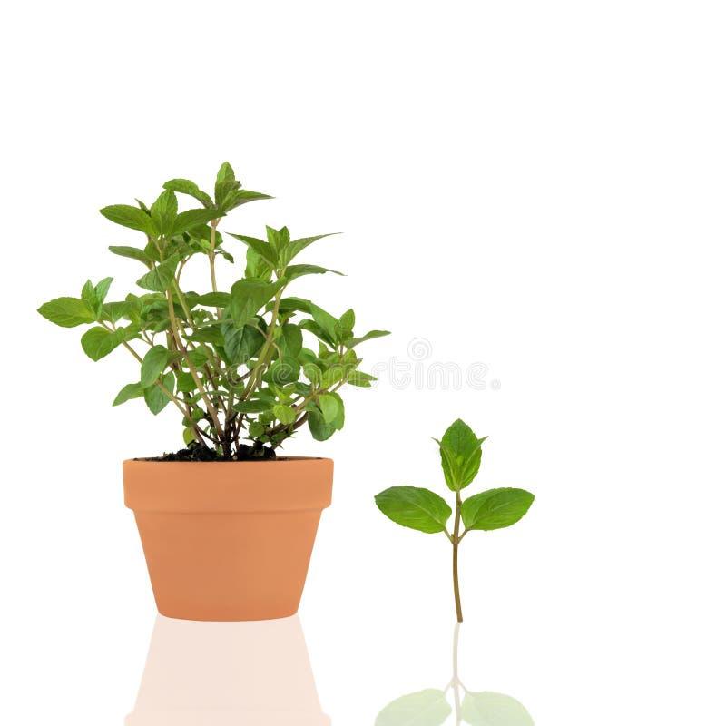 ziele czekoladowa mennica obraz stock