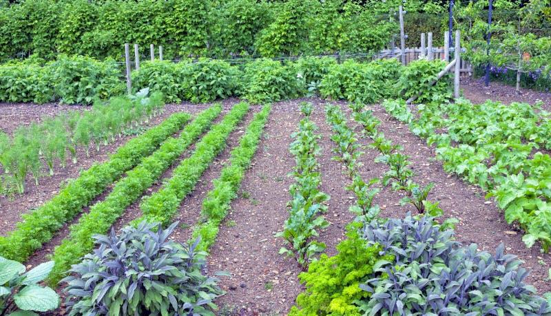 Ziele i liści korzeniowych warzyw dorośnięcie w ogródzie zdjęcia stock