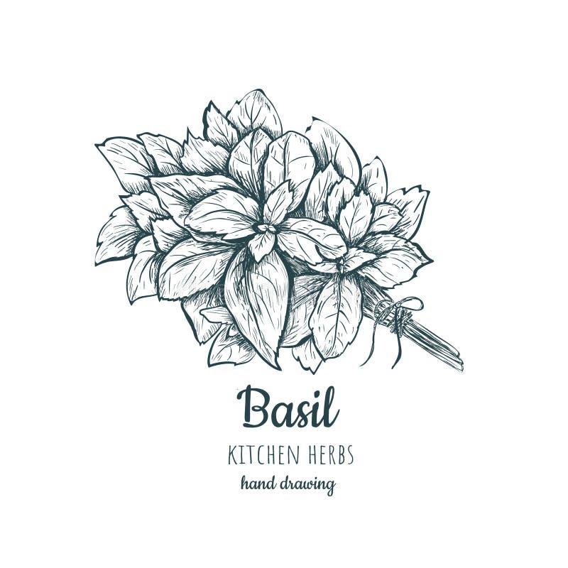 Ziele i pikantność basil Basilu nakreślenia ręki rysunek ilustracji