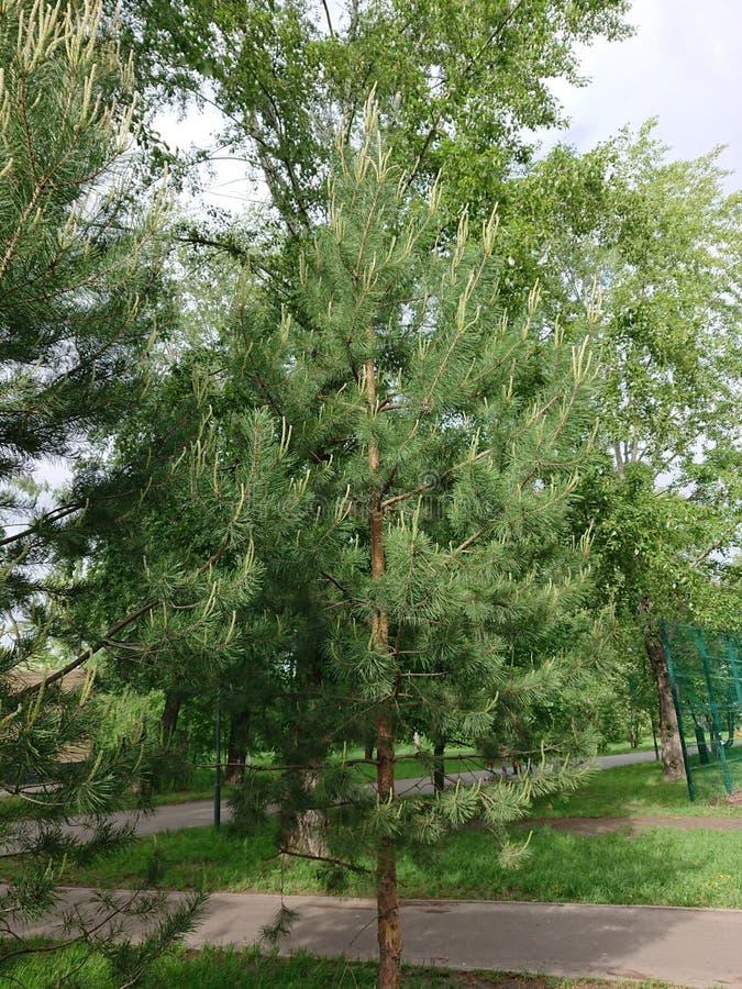 Ziele? li?cie drzewo w parku Kazan obrazy royalty free