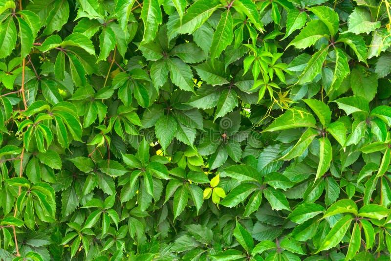 Ziele? li?cie dzicy winogrona na ogrodzeniu Jaskrawy Kolorowy t?o Selekcyjna ostro?? obraz royalty free