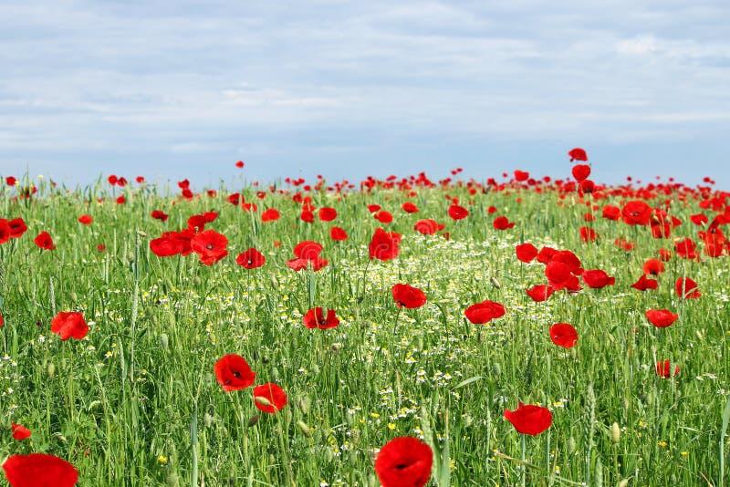 Zieleni śródpolnego maczka kwiaty i niebieskie niebo zdjęcia royalty free