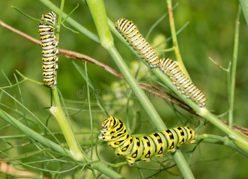 Zieleni, żółtego i czarnego pasiasty kwinty instar Wschodni Czarny Swallowtail motyli gąsienicowy karmienie na koperze, zdjęcie royalty free