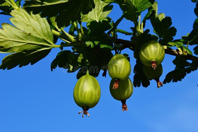Zieleni agresty na agrestowym Ribes Uva-Crispa Krzak przeciw niebieskiemu niebu zdjęcia royalty free