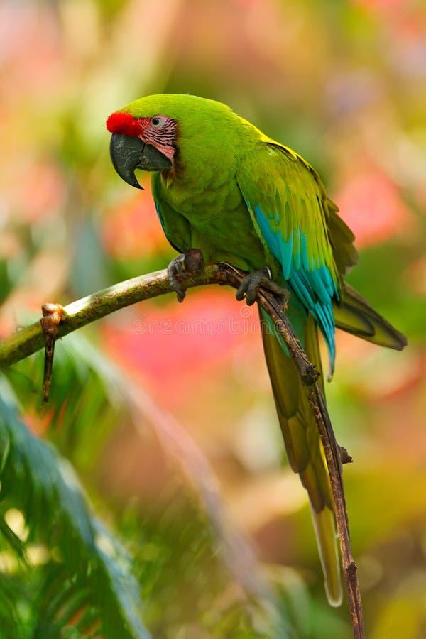 Zieleni ara, aronu ambigua Dziki rzadki ptak w natury siedlisku Zielony duży papuzi obsiadanie na gałąź Papuga od Costa Ri obrazy stock