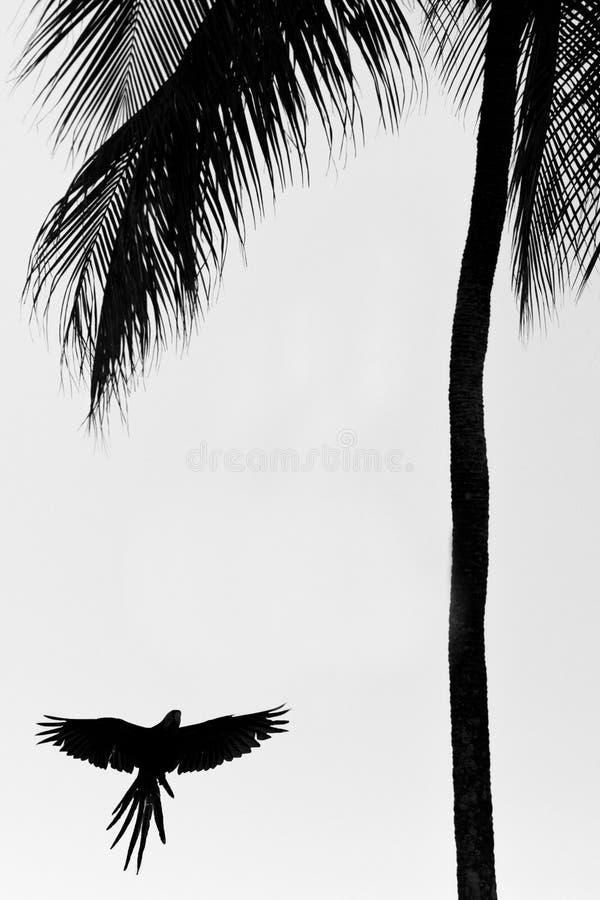 Zieleni ary latanie z szeroko rozpościerać skrzydłami i lądowanie na drzewku palmowym, Trinidad wyspa Przyrody scena od Caribean  obraz stock
