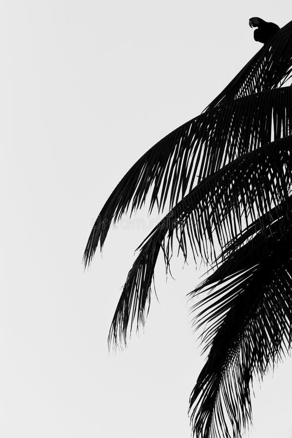 Zieleni ary obsiadanie na drzewko palmowe liściu, Trinidad wyspa Przyrody scena od Caribean natury, egzotyczna przygoda zdjęcie stock
