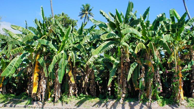Zieleni bananowi drzewa na gospodarstwie rolnym P zdjęcia stock