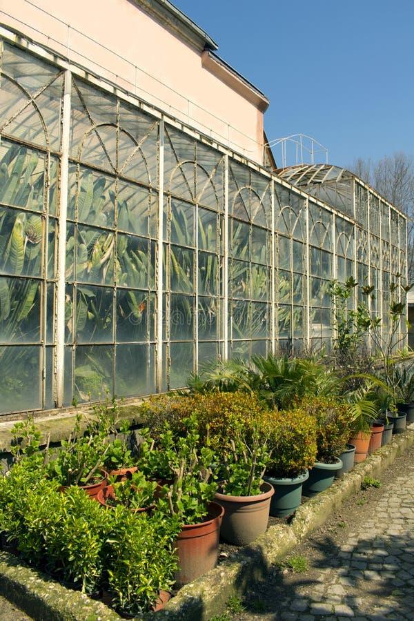 Zieleni bananowi drzewka palmowe w rocznik szklarni młodych roślinach w plastikowych garnkach i obraz stock