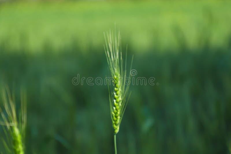 Zieleni banatki gospodarstwa rolnego ind obrazy royalty free