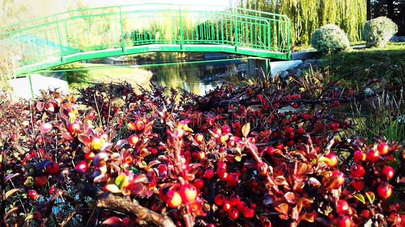 Zieleni bridżowi i czerwoni krzaki z jagodami w jesieni fotografia stock