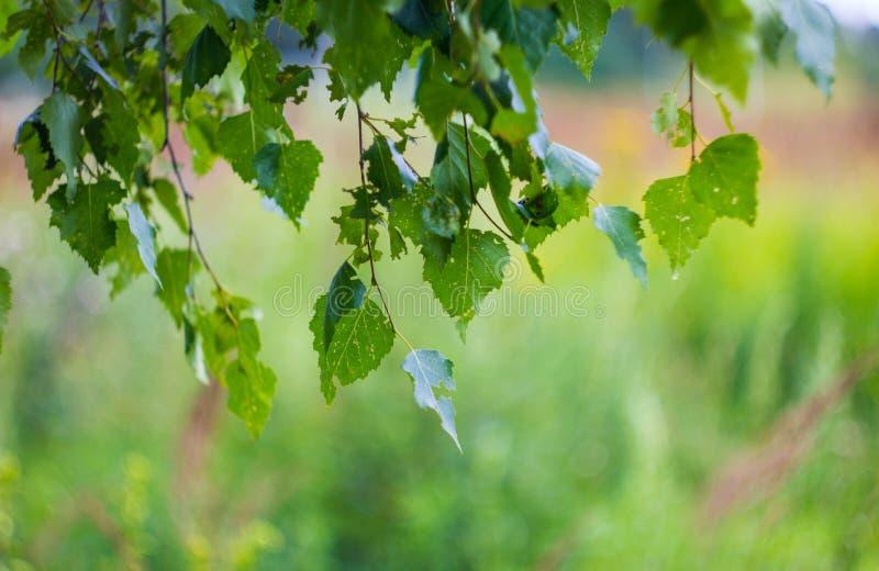 Zieleni brzoza liście na gałąź w górę Piękny tło z brzozą opuszcza na gałąź Brzoza liście z małymi dziurami od, zdjęcia royalty free