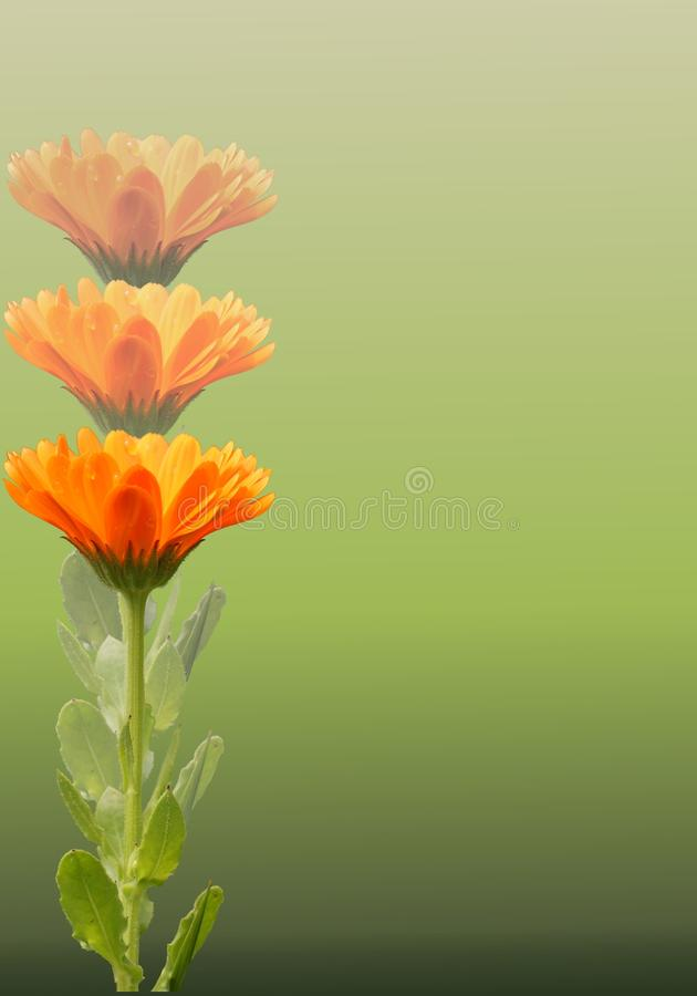 zieleni calendula nagietki fotografia royalty free