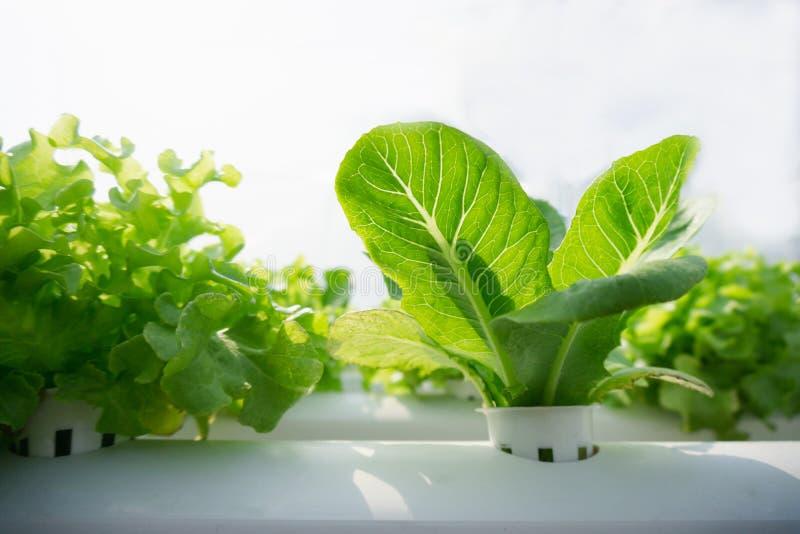 Zieleni Cos warzywa w hydroponic gospodarstwie rolnym obrazy royalty free