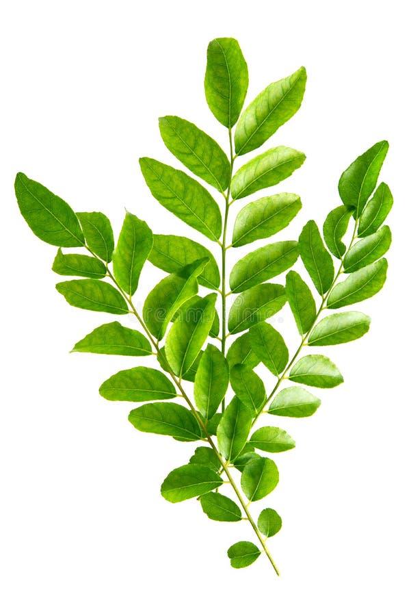Zieleni currych liście zdjęcia stock