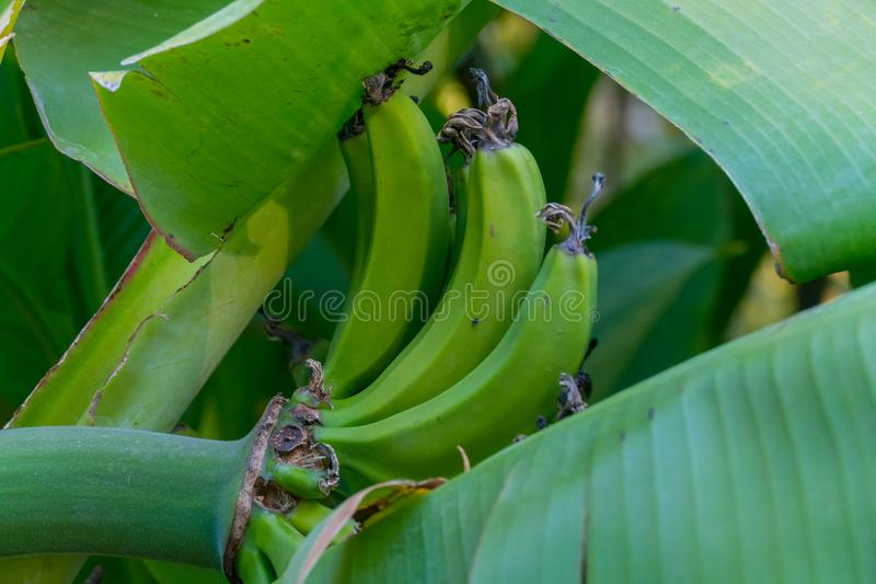 Zieleni długa owoc z ampułą opuszcza na gałąź banan zdjęcie royalty free