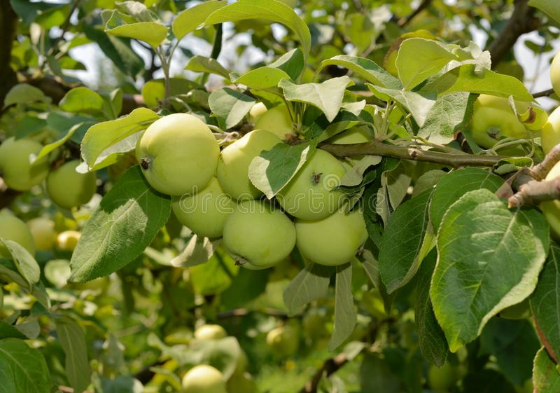Zieleni dojrzali jabłka na gałąź obraz stock