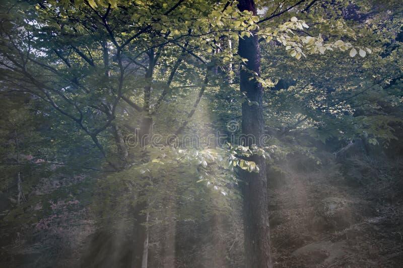 Zieleni drewna w mgle zdjęcia royalty free