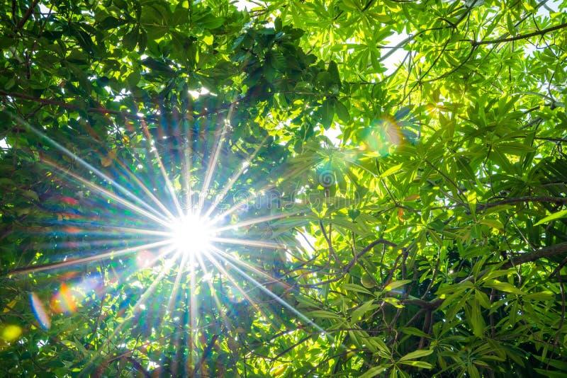 Zieleni drzewa i słońca światło fotografia royalty free