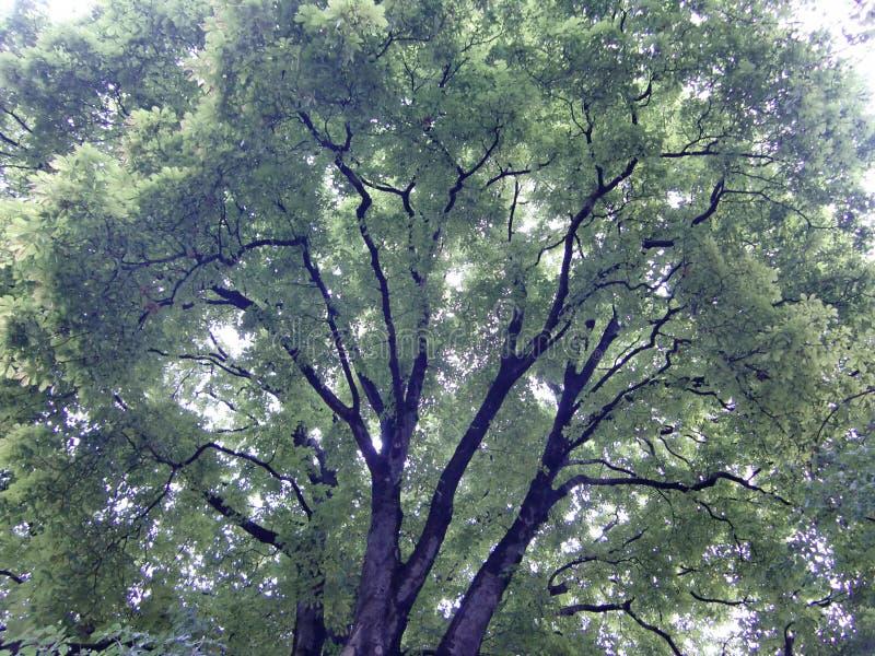 Zieleni drzewa w St Petersburg zdjęcia stock