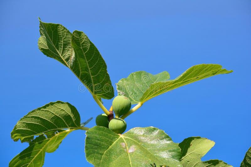 Zieleni figi na gałąź fotografia stock