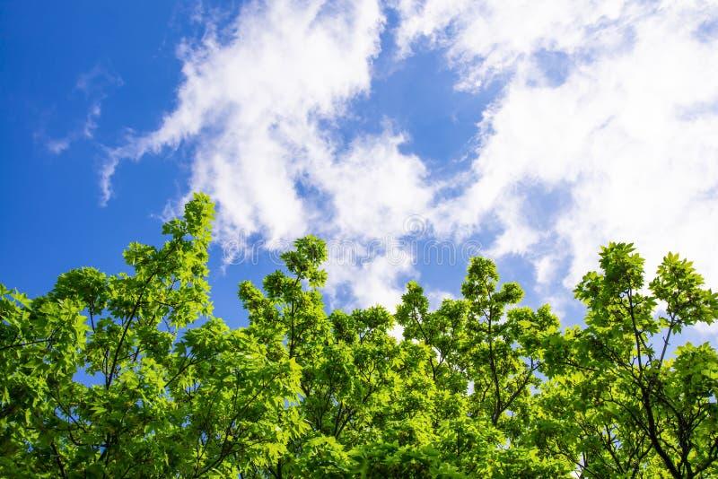 Zieleni gałąź drzewo z jaskrawym - zieleń opuszcza pod pięknym niebieskim niebem z chmurami Widok od dna zdjęcia royalty free