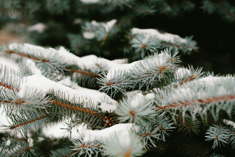 Zieleni gałąź jedli z rożkami w śniegu w górę więcej toreb, Świąt oszronieją Klaus Santa niebo Selekcyjna ostrość Śnieżny prognoz obraz royalty free