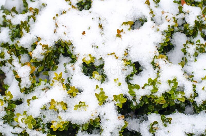 Zieleni gałąź ornamentacyjne rośliny pod śniegiem obraz stock