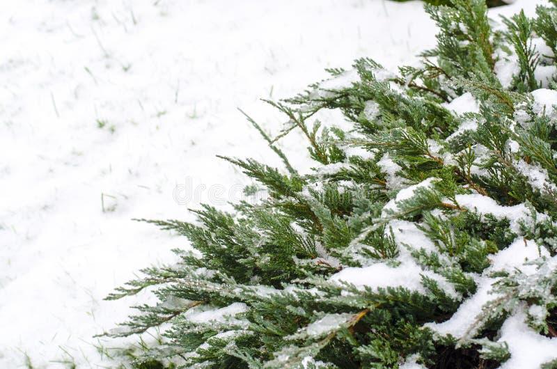Zieleni gałąź ornamentacyjne rośliny pod śniegiem zdjęcie stock