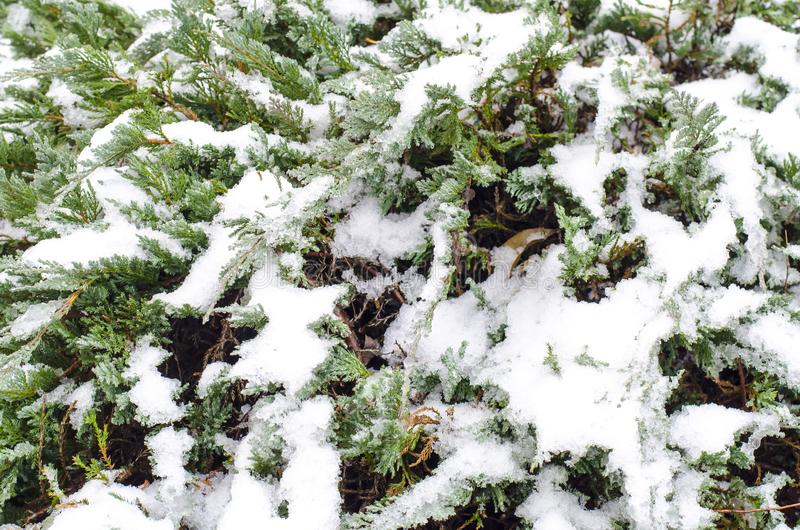Zieleni gałąź ornamentacyjne rośliny pod śniegiem zdjęcie royalty free
