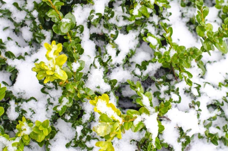 Zieleni gałąź ornamentacyjne rośliny pod śniegiem obrazy stock