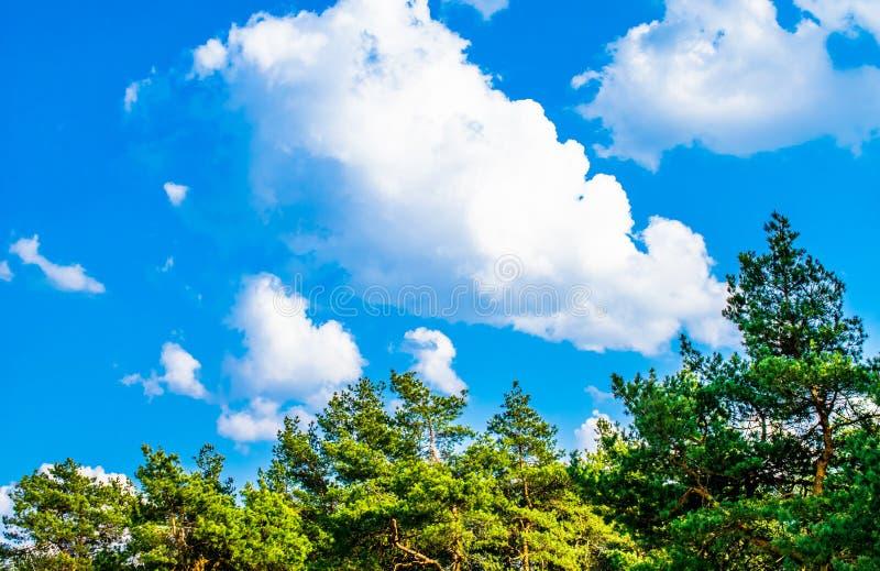 Zieleni gałąź sosna z potomstwami konusują przeciw niebieskiemu niebu zdjęcia royalty free