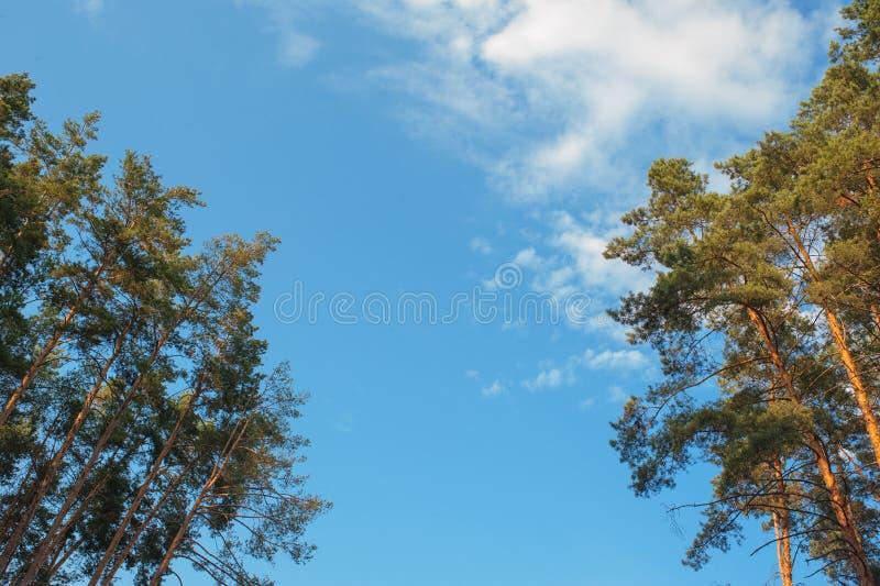 Zieleni gałąź sosna z potomstwami konusują przeciw niebieskiemu niebu fotografia royalty free