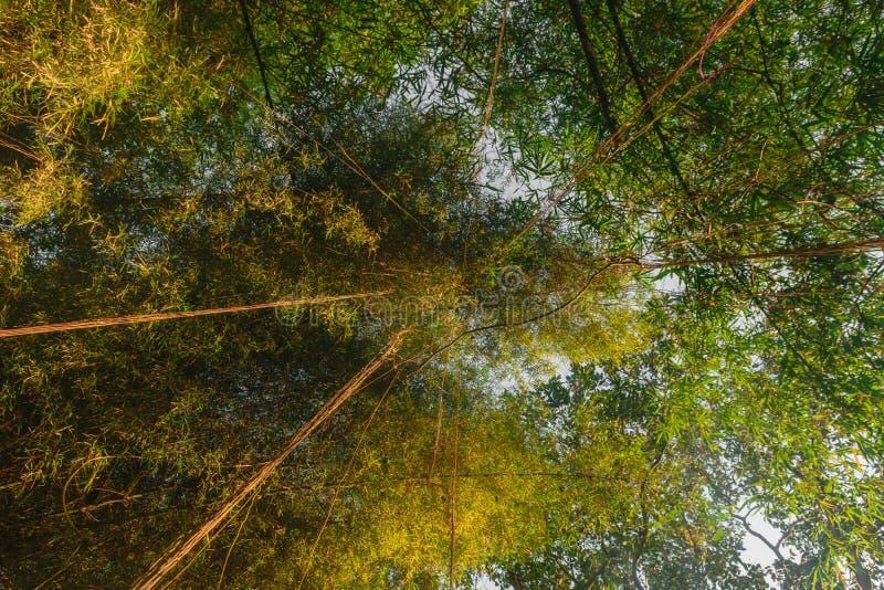 Zieleni i żółci w górę widoku od ziemi bambusowi drzewni bagażniki i obwieszenie liana fotografia royalty free