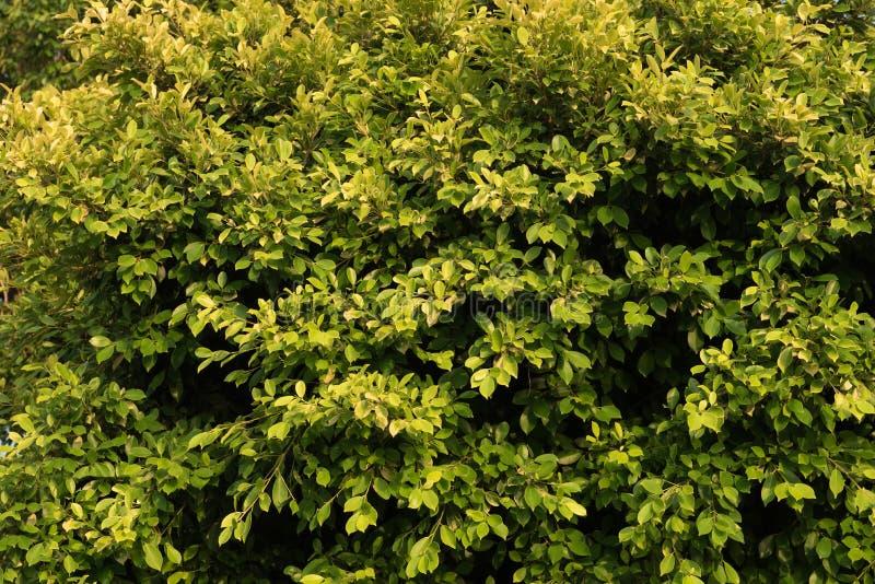 Zieleni i koloru żółtego liści tło obrazy royalty free
