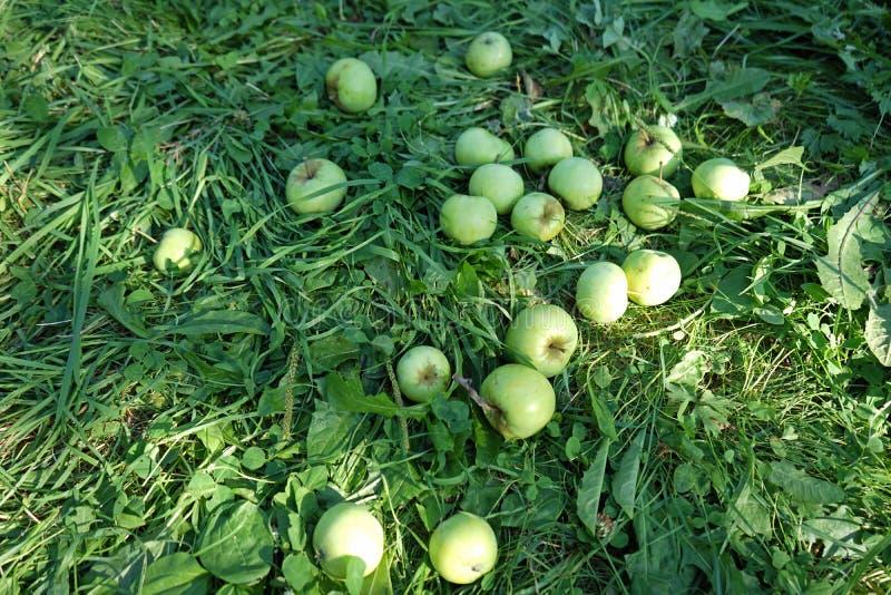 Zieleni jabłka, podnoszący od drzewa, kłama na trawie fotografia royalty free