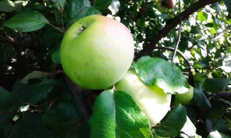 Zieleni jabłka fotografia stock