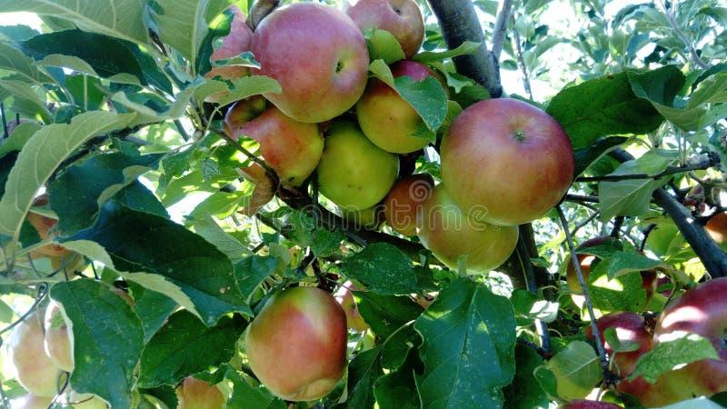 Zieleni jabłka na drzewie obrazy royalty free